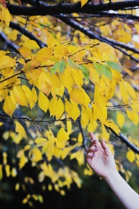 Yellow Leaves at the Tidal Basin, fall, autumn, leaves, washington dc, national mall, details, hand model, birch, cherry blossom trees, yellow leaves, details 70-200mm, brandon woelfel, inspired by, sunrise,