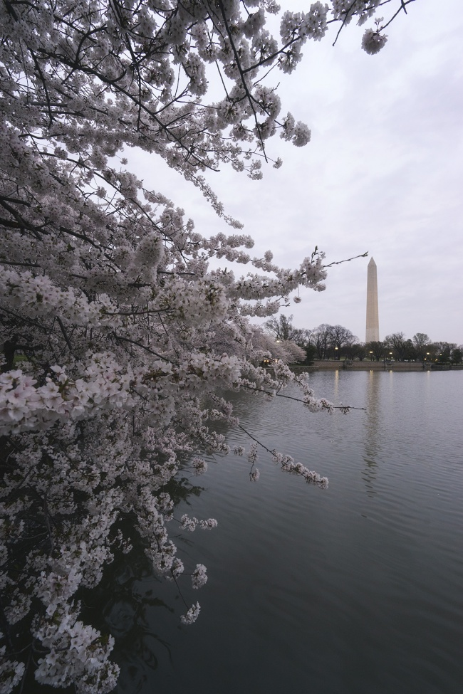 Cherry Blossoms in Washington, washington dc, tidal basin, spring, cherry blossom season, when is the best time to see cherry blossoms, flowers, trees, travel, visit, where are the best places to see cherry blossoms in washington dc, plan cherry blossom visit