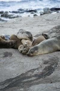 La Jolla Seals, la jolla oave, san diego, southern california, socal, california, seals, sea lions, sandstone cliffs, early morning, sunrise, book talk, snap dc