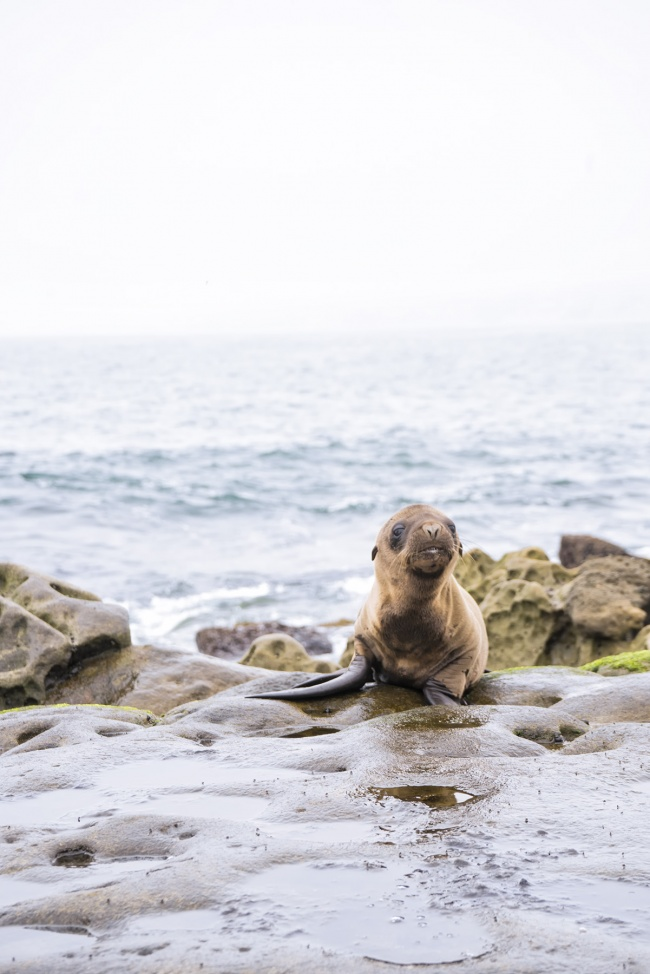 La Jolla, San Diego, Sea Lion, SoCal, La Jolla cove, childrens pool, sea lion pup, reflection, travel, seals,