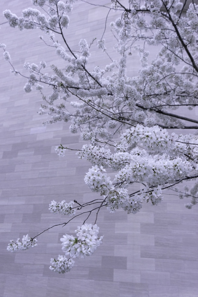 national gallery of art, nga, museum, washington dc, cherry blossoms, national mall, spring