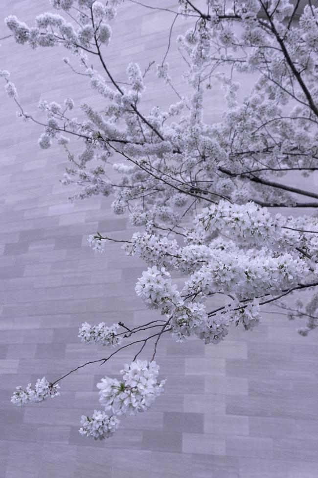 national gallery of art, nga, museum, washington dc, cherry blossoms, national mall, spring