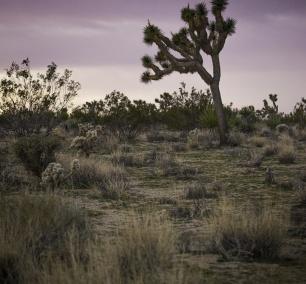 joshua tree, national park, sunrise, landscape, southern california, Colorado Desert, the Mojave Desert