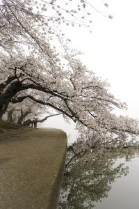 Cherry Blossom Countdown, 2019, washington dc, cherry blossom peak bloom, tidal basin, cherry trees, national mall, reflection, visit, cherry blossom festival,