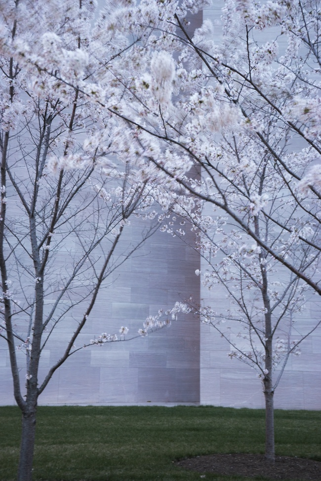 Cherry Blossom Predictions 2019, national park service, nps, washington dc, cherry blossom festival, spring, cherry blossoms