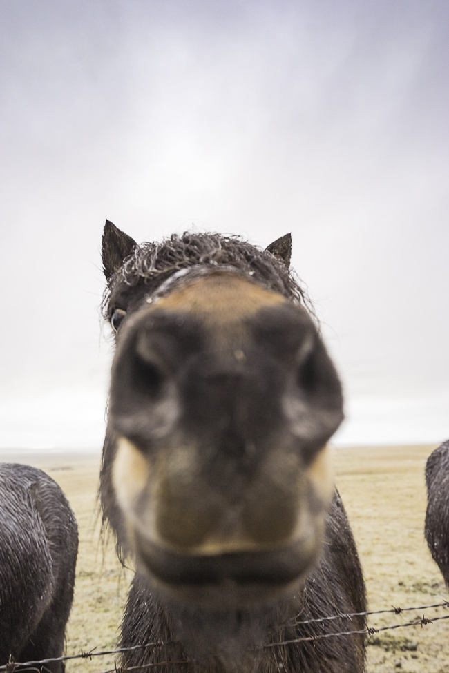 horses, iceland, close up, mirrorless, peak design, hand strap,