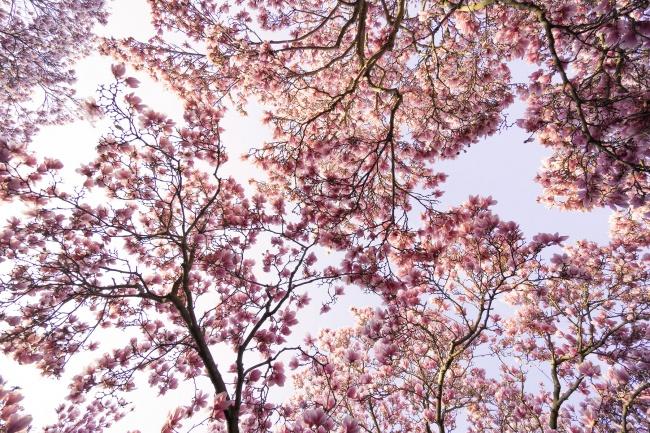 magnolias, pink magnolias, washington dc, smithsonian castle, enid a haupt garden, garden, flowers, spring, snap dc, national mall