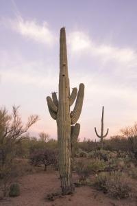 saguaro, cactus, sunset, saguaro national park, tucson, arizona, road trip, heat wave, summer, hot, cacti, national park