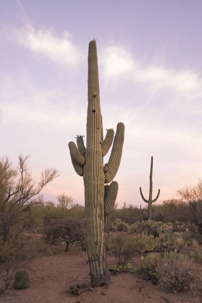 saguaro, cactus, sunset, saguaro national park, tucson, arizona, road trip, heat wave, summer, hot, cacti, national park