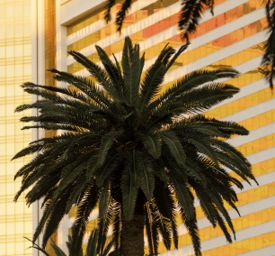 las vegas, the strip, las vegas blvd, palm trees, early morning, sunlight, pattern, framing, close up,