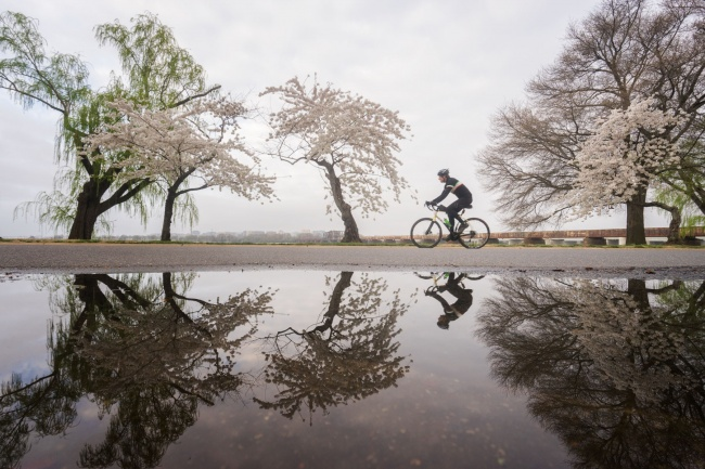 cherry blossoms, washington dc, haines point, reflection, puddle, street, bicycle, washington dc, spring,