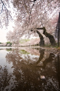 cherry blossom, reflection, puddle, tidal basin, national mall, spring, washington dc, trees, rain, weather, spring