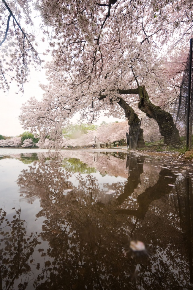 cherry blossom, reflection, puddle, tidal basin, national mall, spring, washington dc, trees, rain, weather, spring