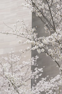 cherry blossoms, washington dc, national mall, national gallery of art, east wing, sunrise, early morning, cherry trees, flowers, spring