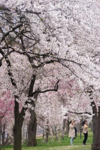 cherry blossoms, cherry trees, sakura, Kwanzan, weeping cherry blossoms, Yoshino cherry trees, pink, white, photoshoot, spring, tidal basin, national mall, washington dc