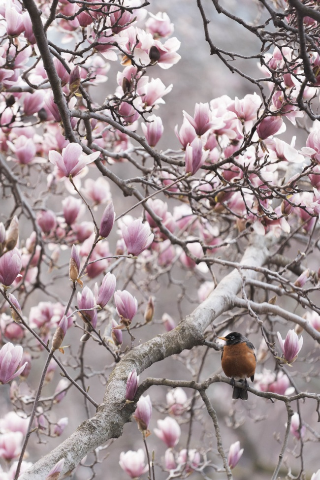 mangolias, tree, bird, smithsonian gardens, smithsonian castle, enid a haupt garden, national mall, tree, early morning, flowers, spring