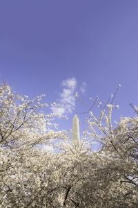 washington dc, washington monument, national mall, cherry blossoms, peak bloom, spring, national mall, cherry blossom festival