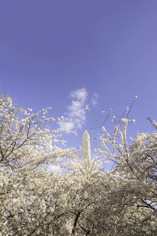 washington dc, washington monument, national mall, cherry blossoms, peak bloom, spring, national mall, cherry blossom festival
