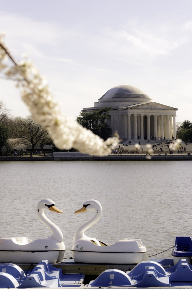 cherry blossoms, spring, washington dc, national mall, paddle boats, tidal basin, swan boats, jefferson memorial, cherry blossom festival, cherry blossom peak