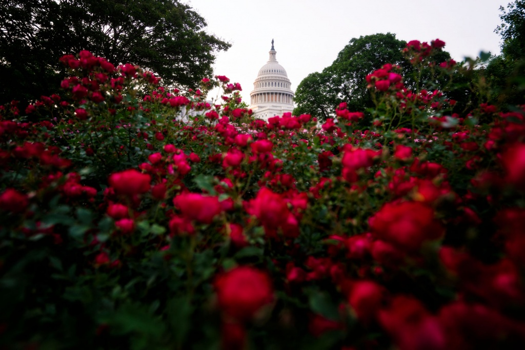 US Capitol, washington dc, capitol dome, architecture, roses, red roses, flowers, spring, national mall, capitol building, flowers,