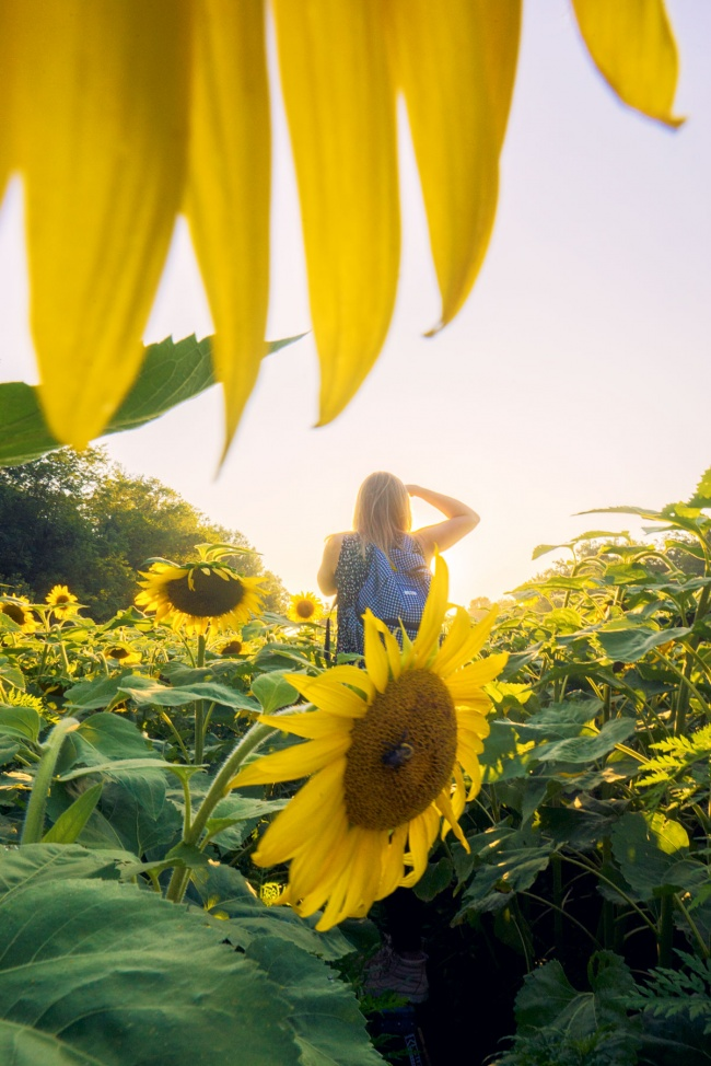 potomac, maryland, md, sunflower fields, instagram, meetup group, birch, flowers, sunflower, sunflower fields, yellow, igdc,