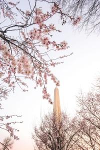 cherry blossoms, peak bloom, washington dc, national mall, washington monument, spring, cherry blossom season, pink, throwback