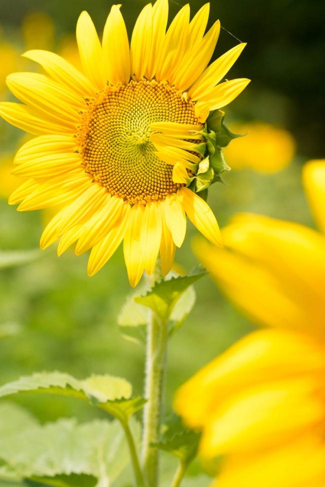 sunflower fields, sunflower, yellow, flower, mckee beshers, sunflower field in maryland, sunflower fields near me, summer, close up
