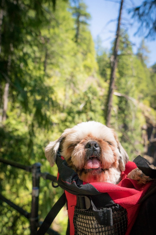 frankenstein woopan, frankie, shih tzu, dogs, k9 sport sack, toketee falls, umpqua national forest, oregon, road trip, travel, visit, west coast
