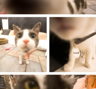 georgetown, washington dc, cat cafe, crumbs and whiskers, cat adoption, cat boops, pink nose, kittens, kitten cafe,