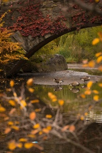 central park, new york, nyc, fall, autumn, fall foliage, canadian geese, gapstow bridge, orange leaf, travel, weekend in new york