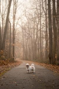 virginia, northern virginia, fairfax county, walking trail, fog, bare trees, early morning, shih tzu, frankenstein woopan, frankie, dog walk