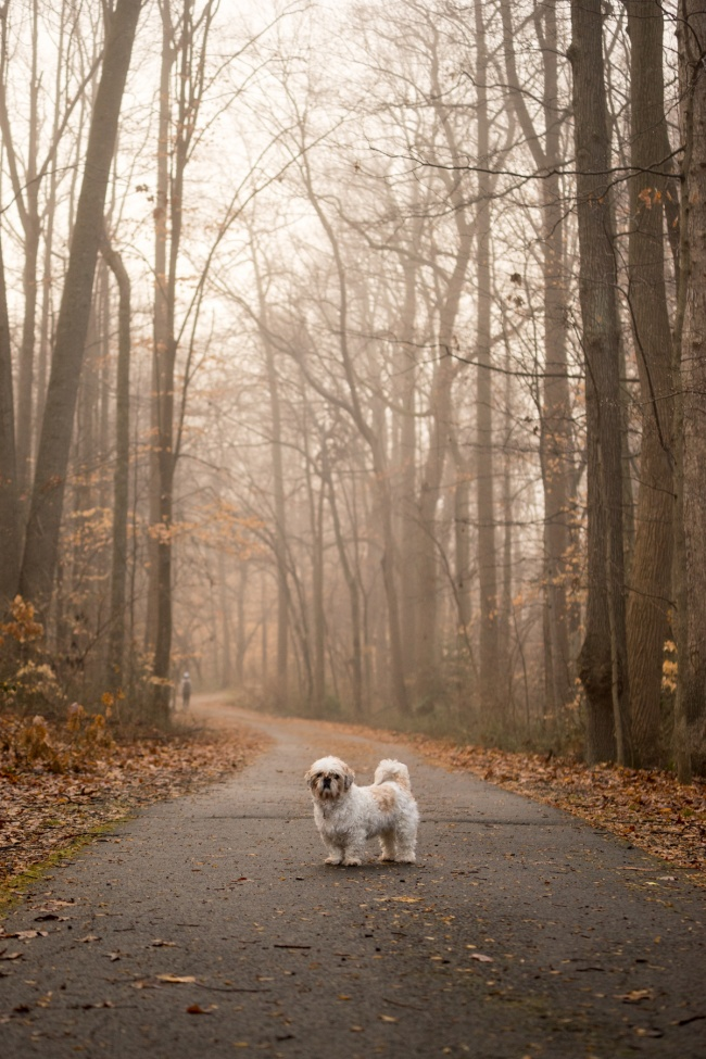 virginia, northern virginia, fairfax county, walking trail, fog, bare trees, early morning, shih tzu, frankenstein woopan, frankie, dog walk