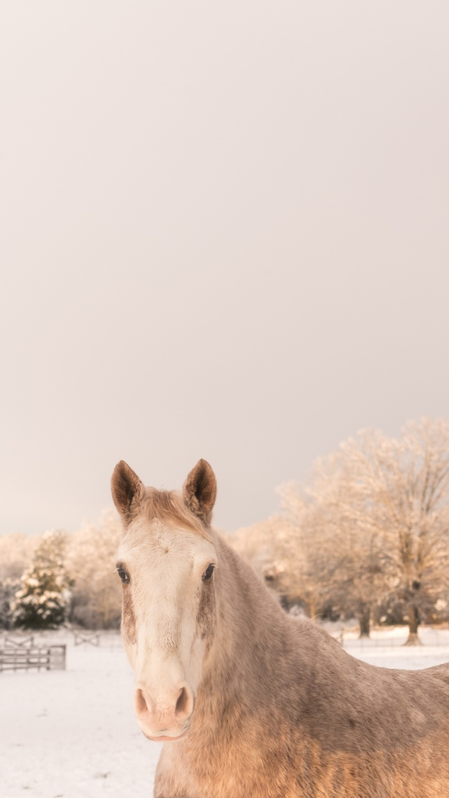 virginia, va, snow, winter, horse, white, barn, portrait, neighborhood farm, neighbood barn
