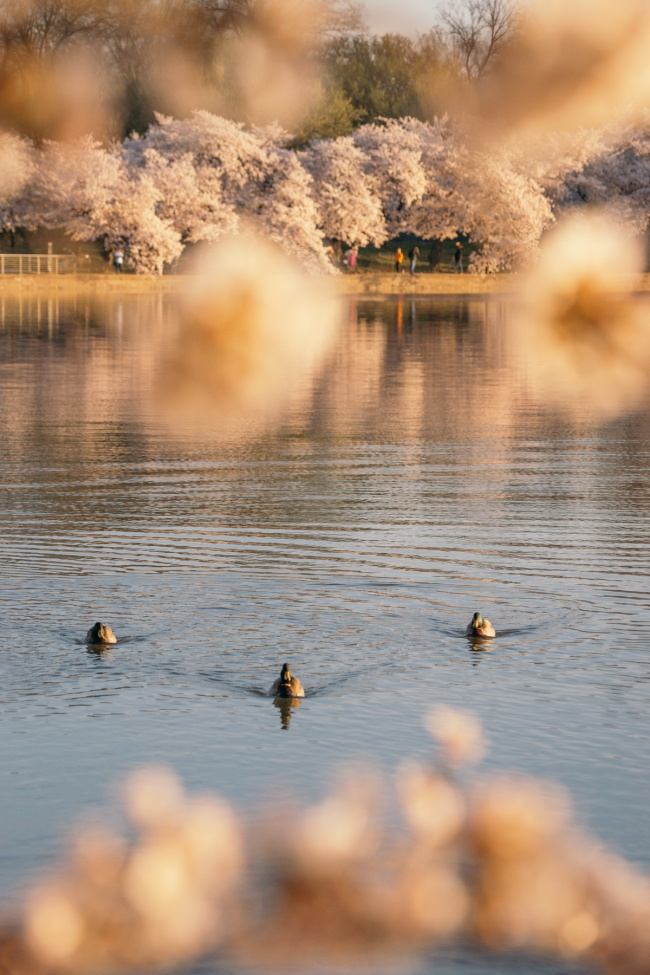 cherry blossoms, washington dc, tidal basin, spring, cherry blossom festival, ducks, national mall, national park service