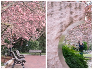 enid a haupt, garden, washington dc, national mall, moongate garden, best garden, magnolias, saucer magnolias, pink,