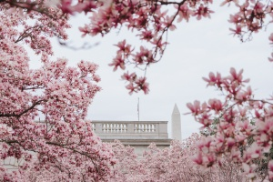 coronavirus, covid-19, 2020, spring, washington dc, status update, self quarantine, disease, photography, cherry blossoms, 2020, update, status, saucer magnolias, national mall, tidal basin, enid a haupt garden, smithsonian garden