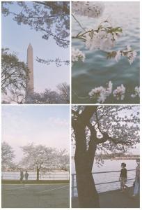 expired film, porta 400, cherry blossoms, tidal basin, spring, flowers, trees,