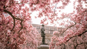 rawlins park, foggy bottom, washington dc, free background, zoom background, saucer magnolias, pink flowers, peak bloom,