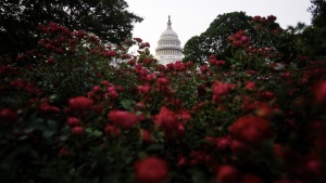 us capitol, dome, red flowers, roses, capitol grounds, washington dc