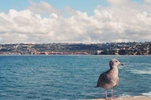 san diego, seagull, bird, ocean, pacific ocean, beach