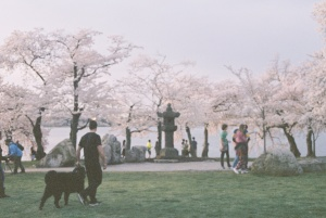 cherry blossom festival, tidal basin, spring, tourists, visitors, japanese latern,
