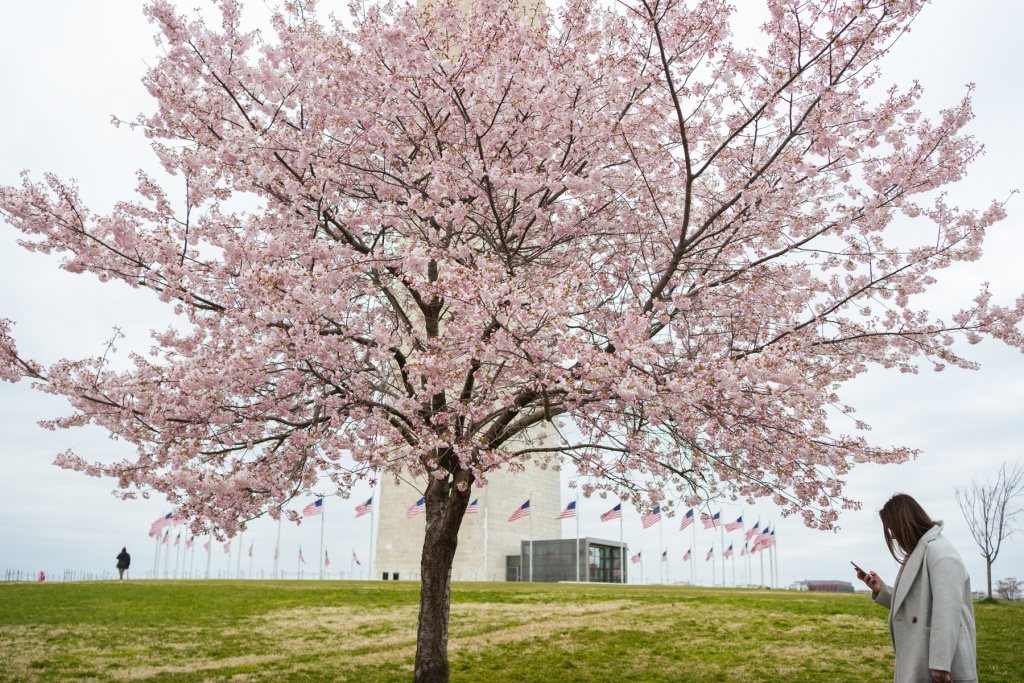washington monument, washington dc, cherry blossoms, flowers, spring, washington dc