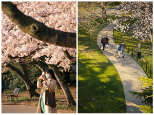 cherry blossoms, tidal basin, george mason memorial, path, sidewalk, covid 19, facemask, photographer