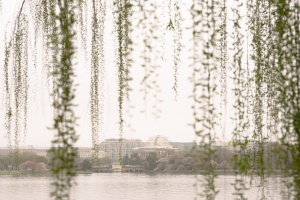 jefferson memorial, mount vernon trail, foggy morning, fog, weeping willow trees, cherry blossoms,