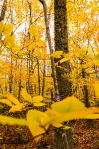 mount willard, yellow trees, fall, autumn, new hampshire, new england,