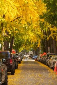 swann street, ginkgos, washington dc, northwest washington dc, nwdc, fall, yellow