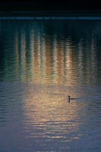 jefferson memorial, reflection, tidal basin, national mall, sunrise, duck, bird, washington dc