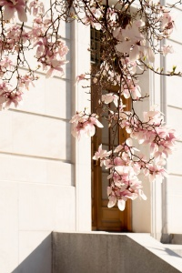 magnolias, blossoms, washington dc