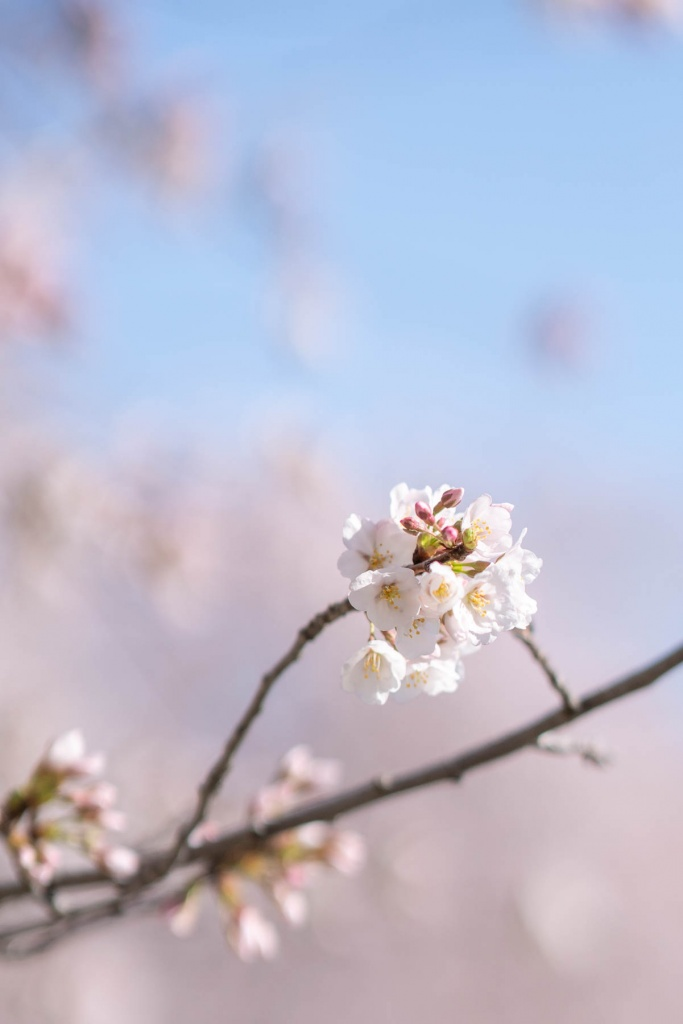 cherry blossoms, tidal basin, spring, washington dc, national mall