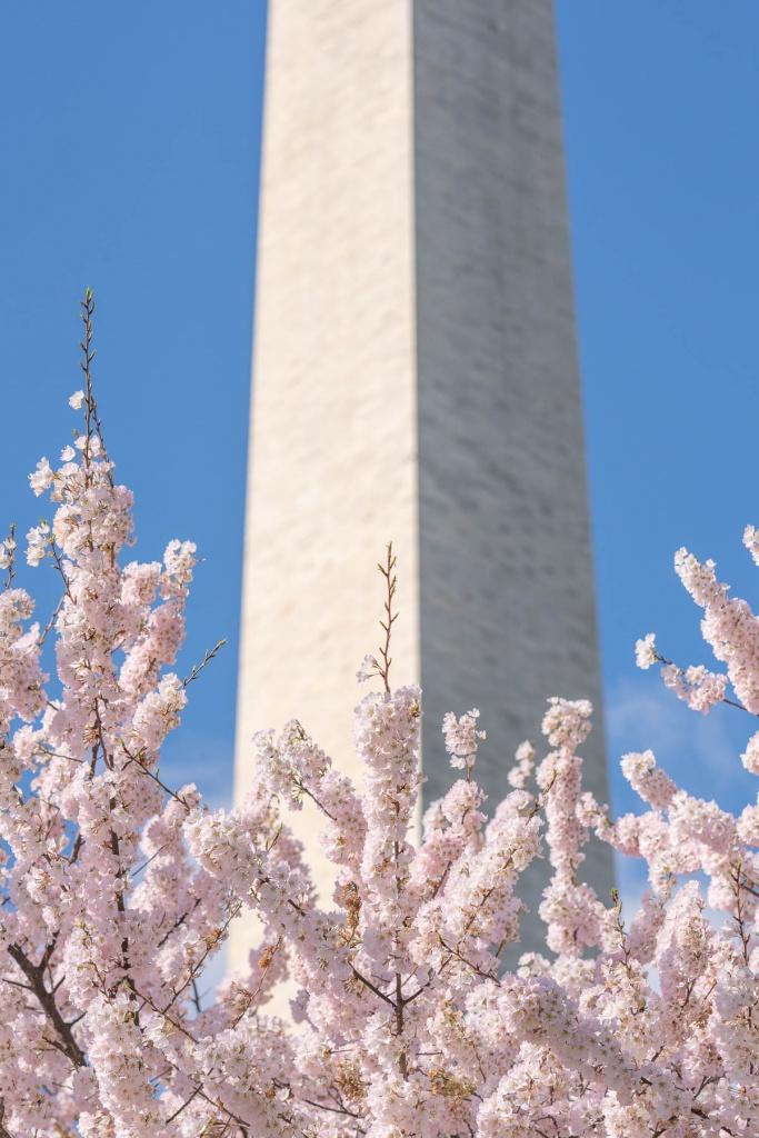 washington monument, washington dc, cherry blossoms, pink flowers, blossoms,